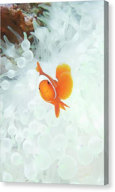Kimbe Bay Canvas Print - Spinecheek Anemone Fish  Premnas by Apsimo1