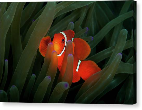 Anemonefish Canvas Print - Spinecheek Anemonefish by Alastair Pollock Photography