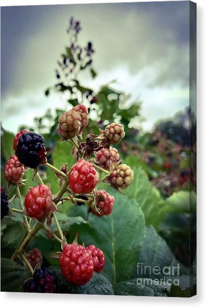 Early Summer Blackberries Canvas Print by JMerrickMedia