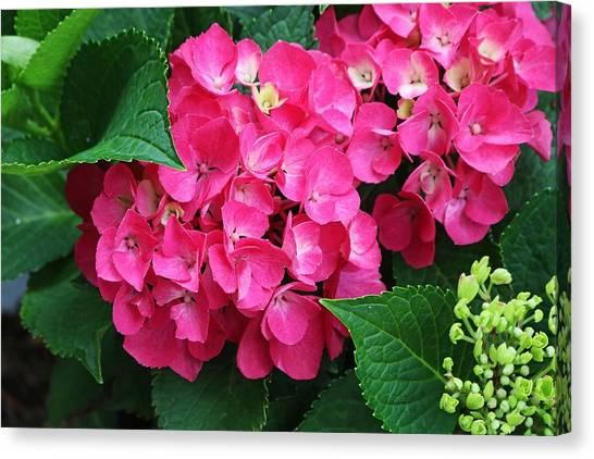 Spring Hydrangea Canvas Print