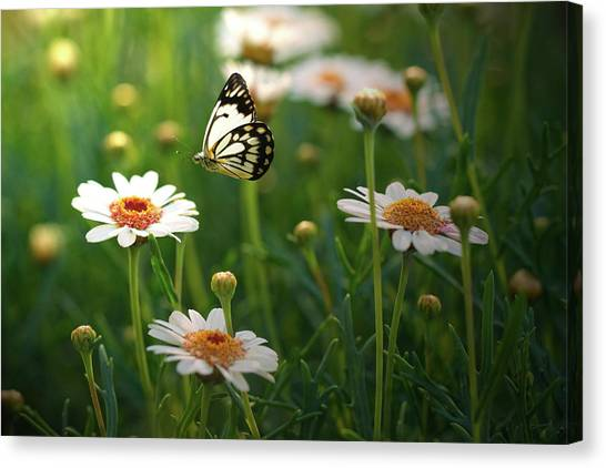 Butterfly Canvas Print - Spring In Air by Photos By Shmelly