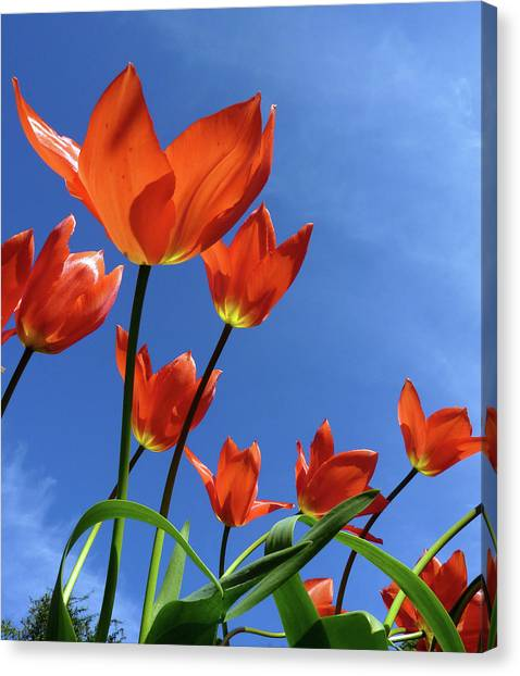 Nottinghamshire Canvas Print - Spring Tulips by Phil Howcroft, Nottingham, England