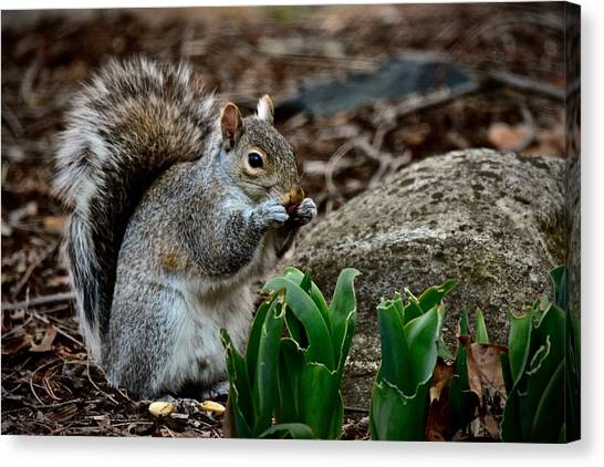 Squirrel And His Dinner Canvas Print