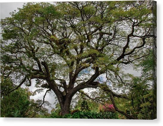 St. Kitts Saman Tree Canvas Print