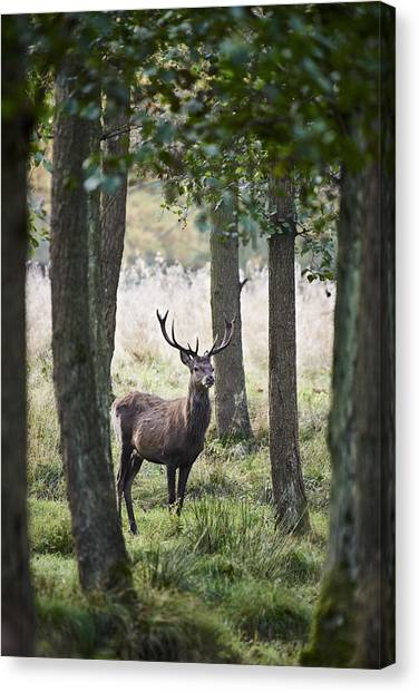 Stag In The Forest Canvas Print by Niels Busch