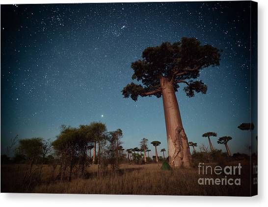 Bush Canvas Print - Starry Sky And Baobab Trees Highlighted by Dudarev Mikhail