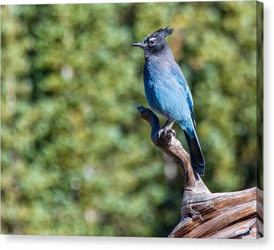 Canvas Print featuring the photograph Stellers Jay 1 by Rand