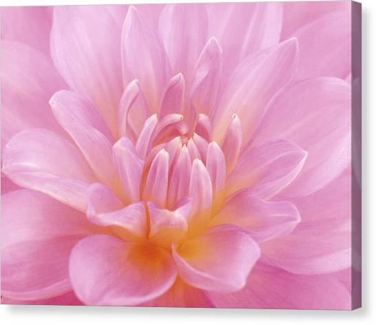 Still Life Photograph, Close-up Of Pink Canvas Print by Abdul Kadir  Audah