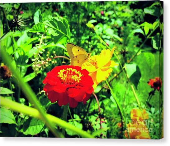 Sulfur Butterfly Canvas Print - Sulfur Butterfly  by Debra Lynch