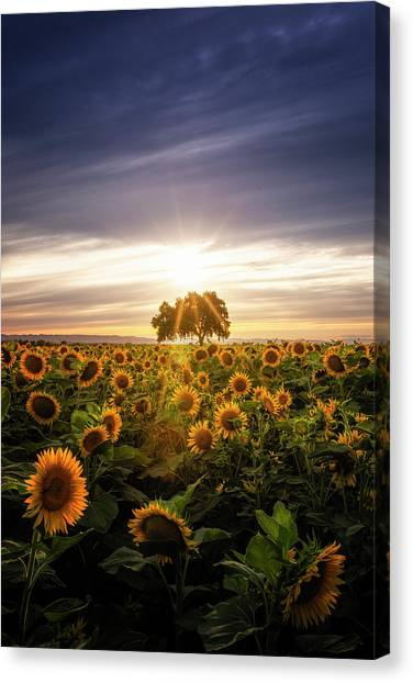 Sunflower Day Canvas Print by Vincent James