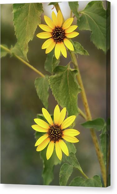 Canvas Print - Sunflower Duo  by Saija Lehtonen