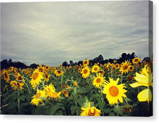 Canvas Print featuring the photograph Sunflower Fields by Candice Trimble