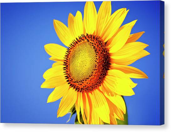 Sunflower Canvas Print by Mbbirdy