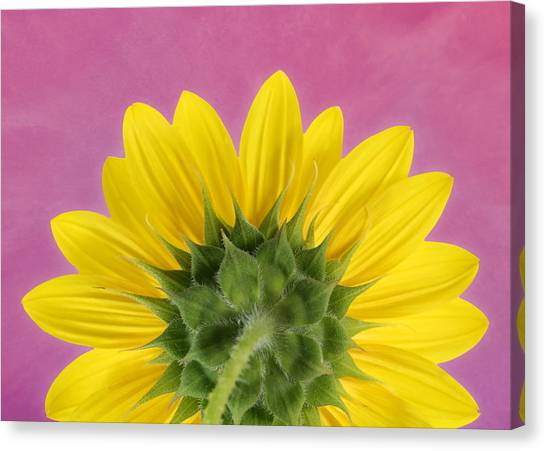 Canvas Print featuring the photograph Sunflower On Pink - Botanical Art By Debi Dalio by Debi Dalio