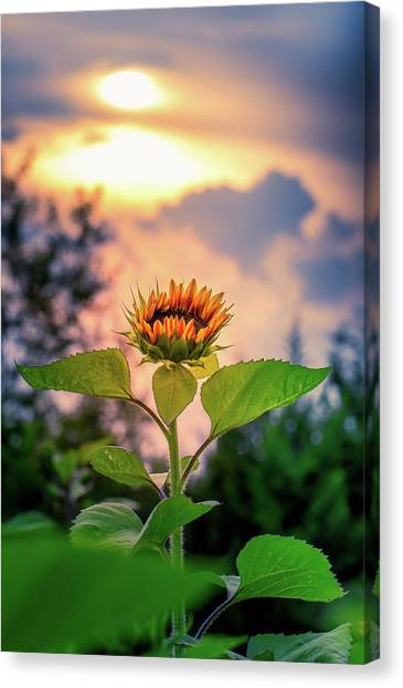 Sunflower Opening To The Light Canvas Print