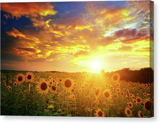 Sunflowers Field And Sunset Sky Canvas Print by Avalon studio