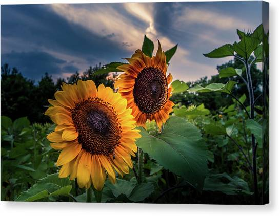 Sunflowers In Evening Canvas Print