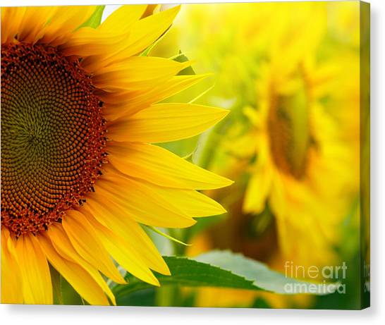 Sunflower Seeds Canvas Print - Sunflowers by Sj Travel Photo And Video