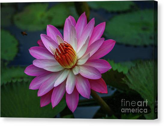 Canvas Print featuring the photograph Sunlit Lily by Tom Claud