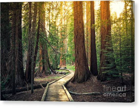 Woodland Canvas Print - Sunset On The Forest Path, Sequoia by Stephen Moehle