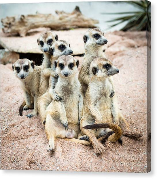 Southern Africa Canvas Print - Suricate Or Meerkat Family by Tratong