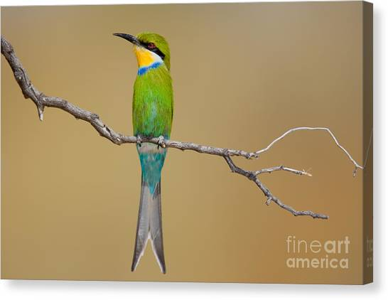 Southern Africa Canvas Print - Swallow-tailed Bee-eater Merops by Johan Swanepoel