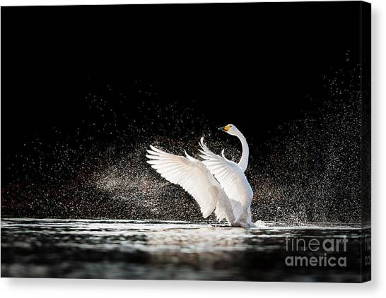 Swan Canvas Print - Swan Rising From Water And Splashing by Tero Hakala