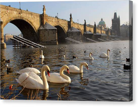Swans And Charles Bridge Canvas Print