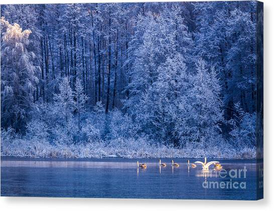 Swan Canvas Print - Swans At Sunrise On Winter Lake by Shaiith