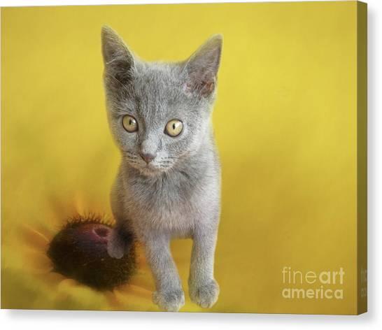 Chartreuxes Canvas Print - Sweet Chartreux Kitten by Elisabeth Lucas