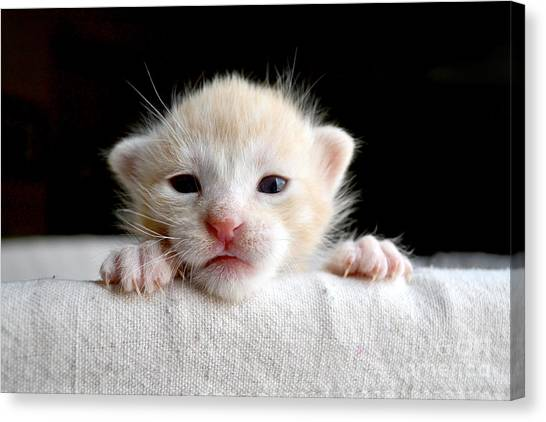 Basket Canvas Print - Sweet Newborn Orange Tabby Kitten by Mw47
