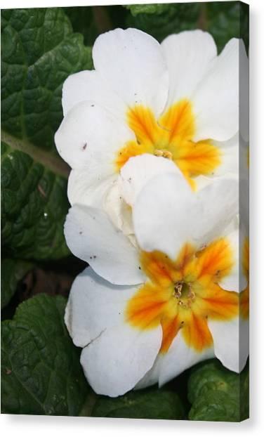 Sweet Primrose Canvas Print