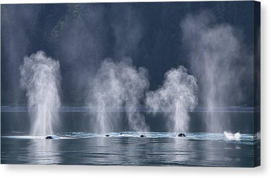 Canvas Print featuring the photograph Synchronized Swimming Humpback Whales Alaska by Nathan Bush
