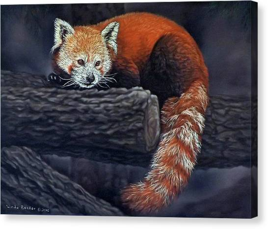 Takeo, The Red Panda Canvas Print