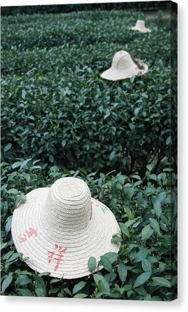 Tea Workers Hats Lying On Tea Bushes Canvas Print