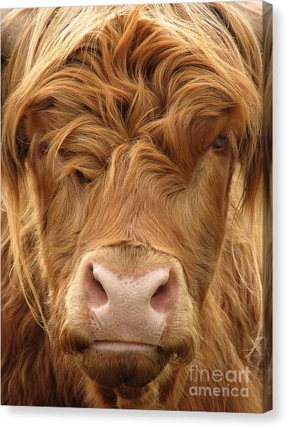 Livestock Canvas Print - Telephoto View Of The Face Of A by Janehyork
