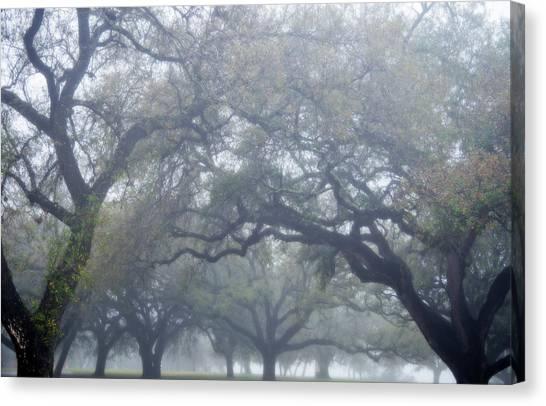 Texas Live Oaks In Fog Canvas Print