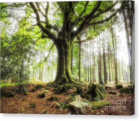 The Beech Of Ponthus And Sidoine Canvas Print