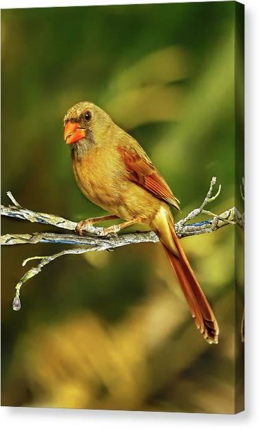 The Female Cardinal Canvas Print