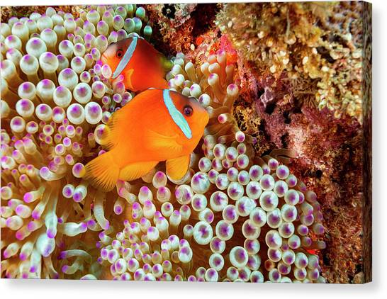 Amphiprion Melanopus Canvas Print - The Fiji Clownfish  Amphiprion Barberi by Dave Fleetham