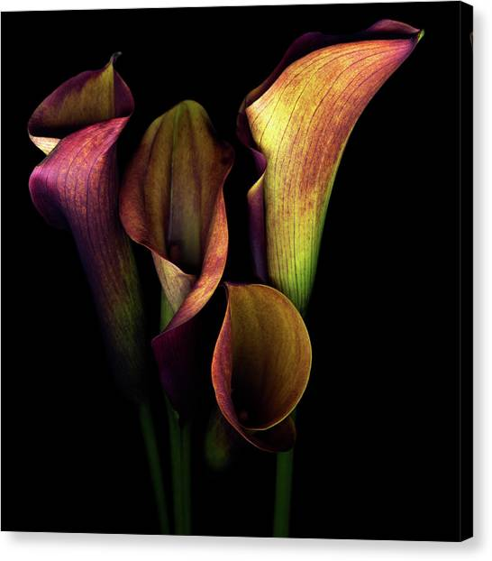Calla Canvas Print - The Golden Curves And Chalices Of Callas by Photograph By Magda Indigo