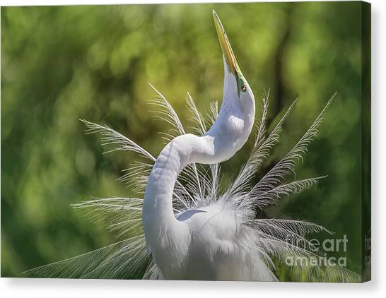 The Great White Egret Mating Dance Canvas Print