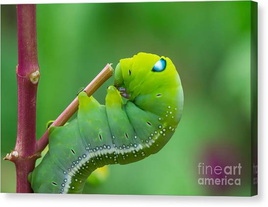 Yellow Butterfly Canvas Print - The Green Worm Creep On Branch,select by Somrak Jendee
