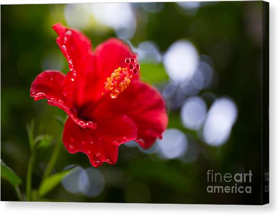 The Hibiscus Flower Close Up Canvas Print by Chayatorn Laorattanavech