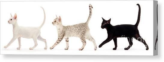 Ocicats Canvas Print - The Kits Parade - Three by Warren Photographic