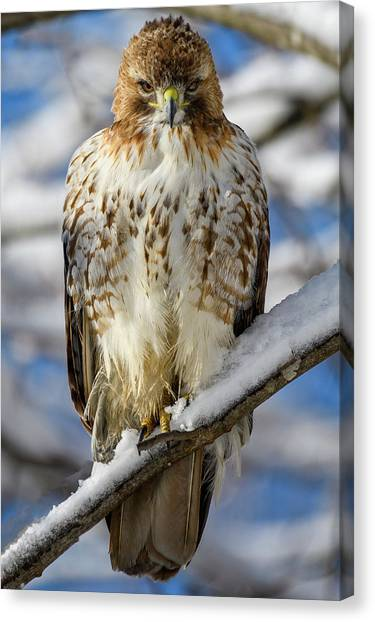 The Look, Red Tailed Hawk 1 Canvas Print