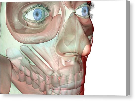 The Musculoskeleton Of The Face Canvas Print by Medicalrf.com