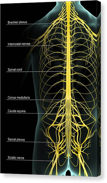 The Nerve Supply Of The Trunk Canvas Print by Medicalrf.com