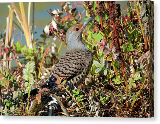 Northern Flicker Canvas Print - The Northern Flicker Is A Medium-sized by Richard Wright