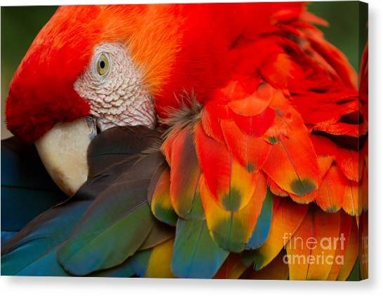 Macaw Canvas Print - The Scarlet Macaw Is A Large Colorful by Ammit Jack
